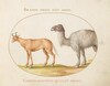 Plate 5: An Ox and a Camel