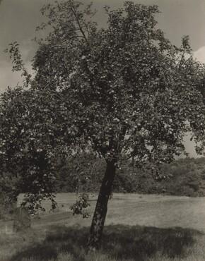 image: Apple Tree