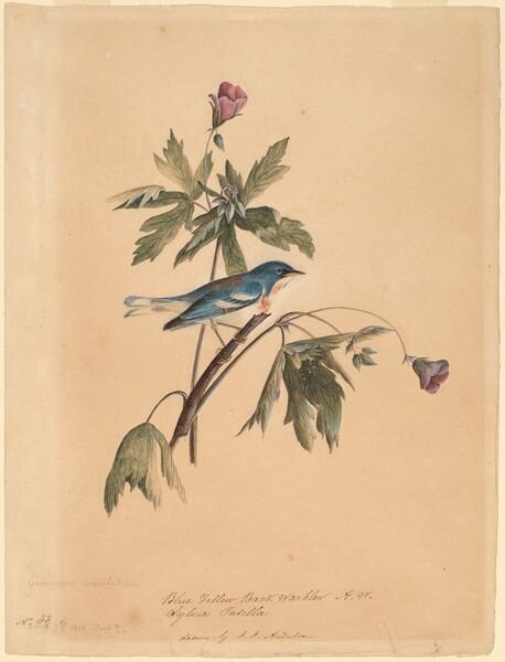 Blue Yellow Back Warbler