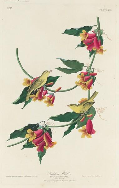 Rathbone Warbler