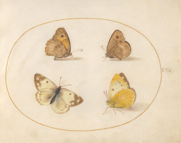 Plate 9: Meadow Brown, Gatekeeper, Clouded Yellow, and Bath White Butterflies