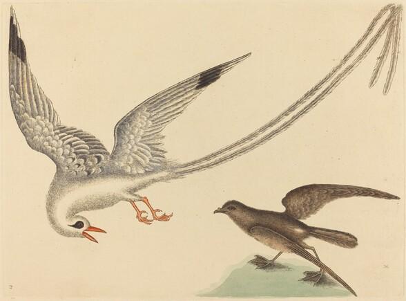 The Rice-bird (Emberiza oryzivora)