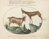 Plate 25: Two Wild Goats