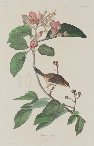 Bachmans Finch