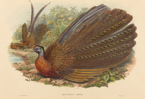Argus Pheasant (Argusianus Argus)