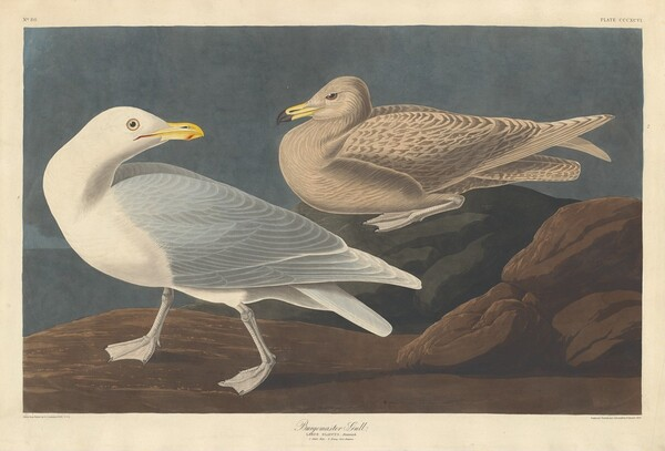 Burgomaster Gull