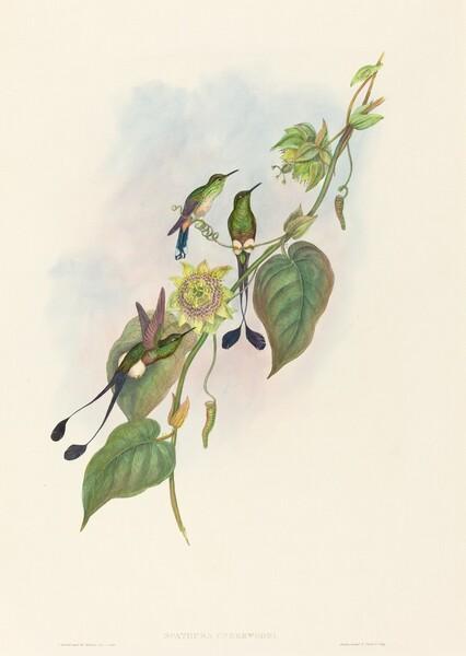 Spathura underwoodi (White-footed Racket-Tail)