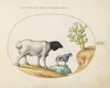 Plate 22: Blackhead Persian Sheep and a Sheep with a Long Tail, with a Cactus
