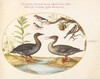 Plate 31: Duck, Merganser, and Three Goldfinches