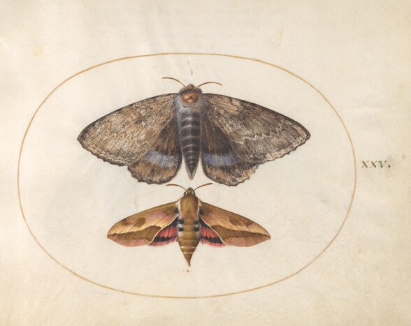 Plate 25: Blue Underwing Moth and Spurge Hawk Moth