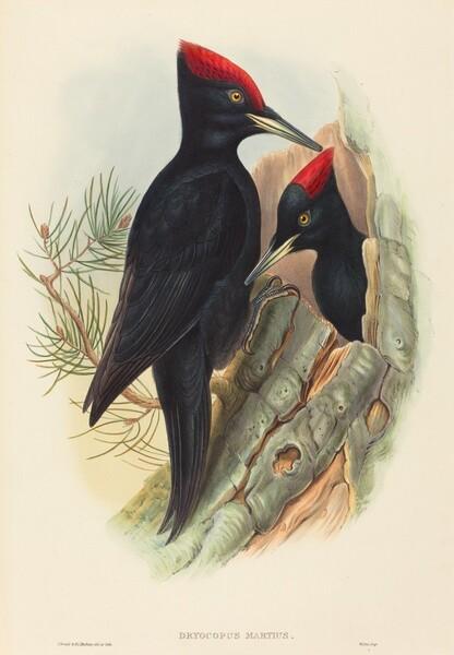 Great Black Woodpecker (Dryocopus martius)
