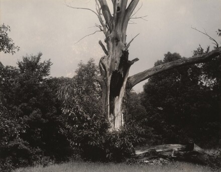 Dead Chestnut Tree