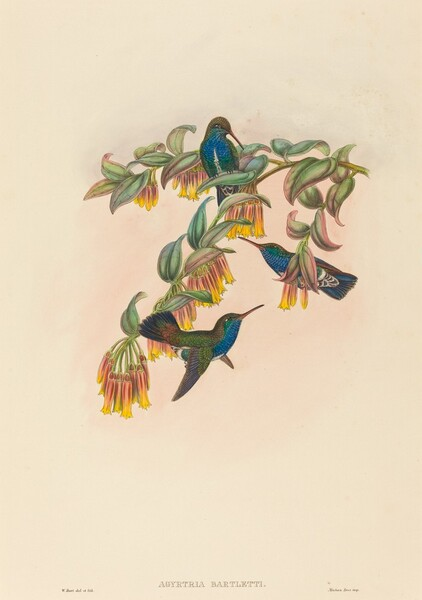 Agyrtria bartletti (Bartlett