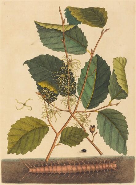 Centipede (Scolopendra morsitans)