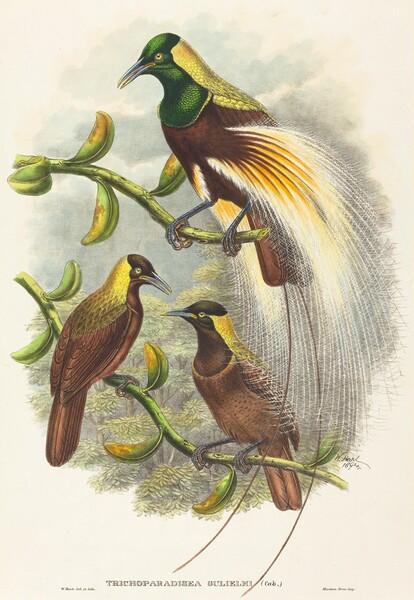 Trichoparadisea Gulielmi