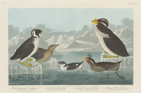 Black-throated Guillemot, Nobbed-billed Auk, Curled-Crested Auk and Horned-billed Guillemot