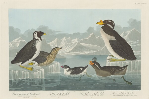 Black-throated Guillemot, Nobbed-billed Auk, Curled-Crested Auk and Horned-billed Guillemot