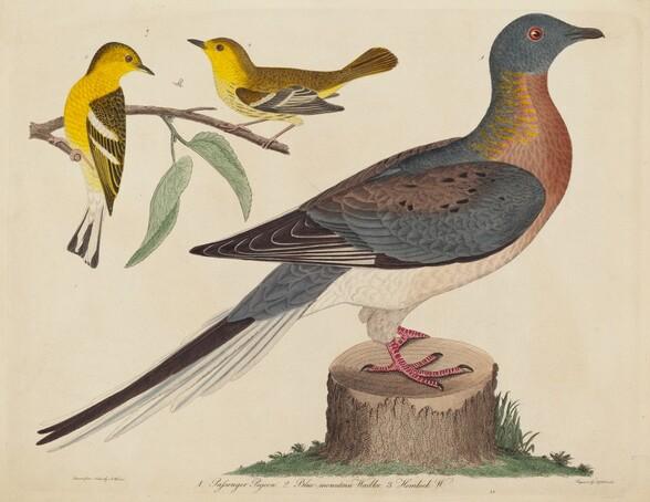 Passenger Pigeon, Blue-mountain Warbler, and Hemlock Warbler