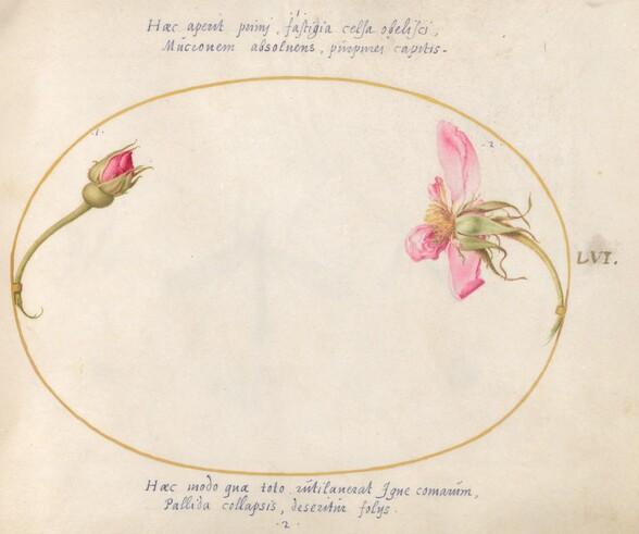 Plate 56: A Rosebud and a Disintegrating Pink Rose