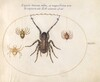 Plate 35: A Wolf Spider(?) and Three Other Spiders