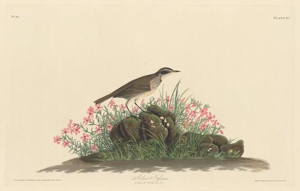 Prairie Titlark