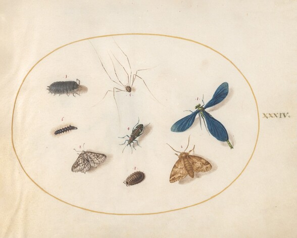 Plate 34: Two Moths with a Spider, a Caterpillar, and Four Other Insects