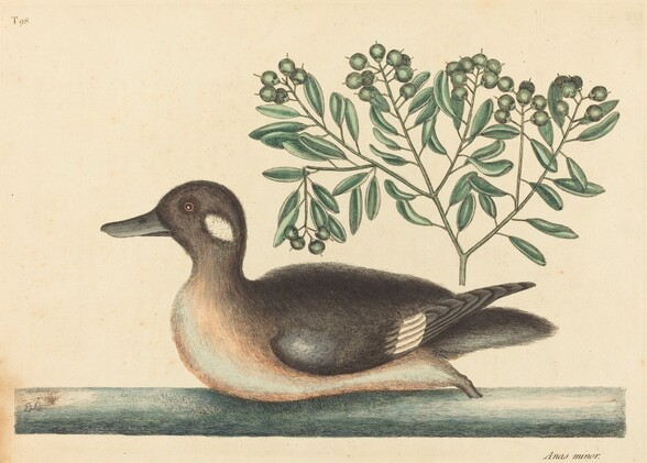 The Little Brown Duck (Anas rustica)