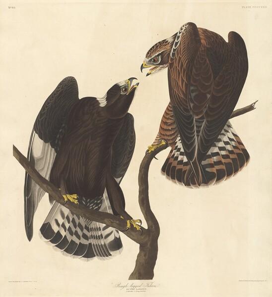 Rough-legged Falcon