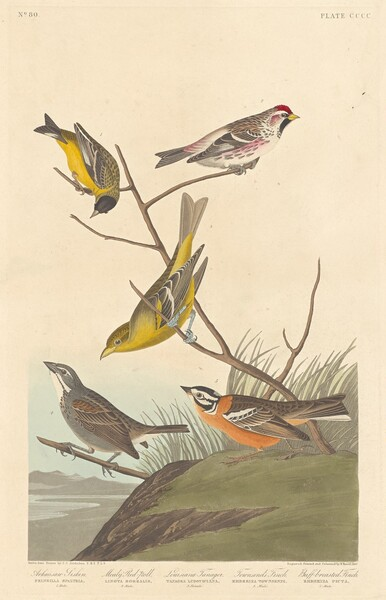 Arkansaw Siskin, Mealy Red-poll, Louisiana Tanager, Townsend