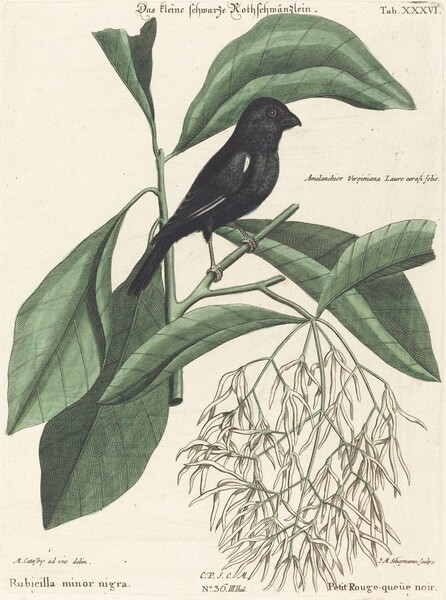 The Little Black Bullfinch (Rubicilla minor nigra)