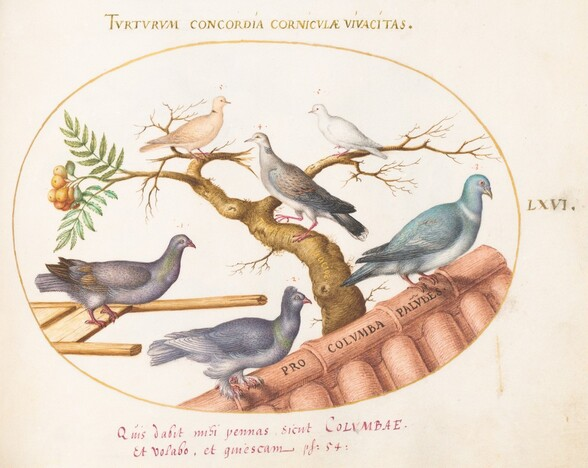 Plate 66: Doves and Pigeons