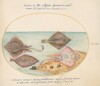 Plate 32: Skates with an Egg Case and Two Flat Fish