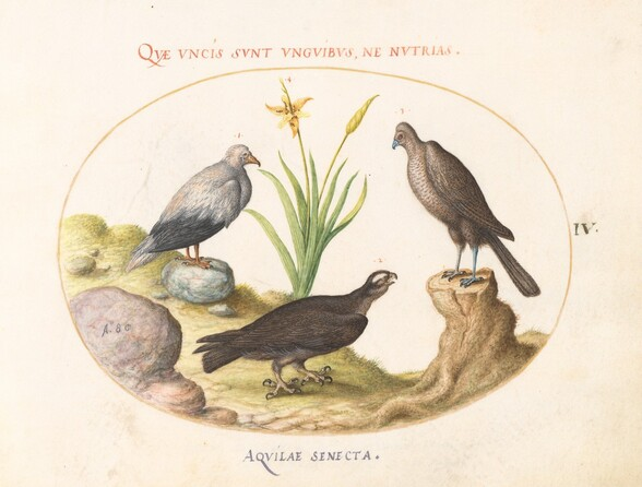 Plate 4: An Egyptian Vulture, a Northern Goshawk(?), and an Aquila Heteropode (Short Toed Eagle?)