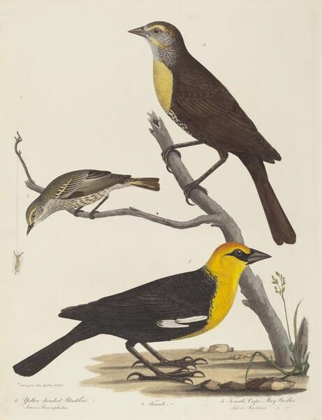 Yellow-headed Blackbird, Female Blackbird, and Female Cape May Warbler