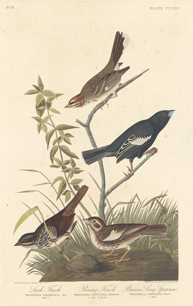 Lark Finch, Prairie Finch and Brown Song Sparrow