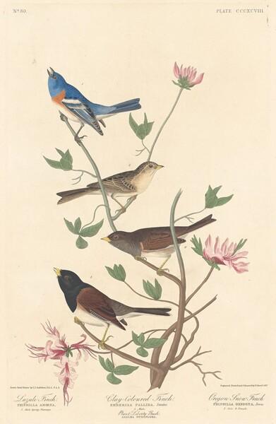 Lazuli Finch, Clay-colored Finch and Oregon Snow Finch