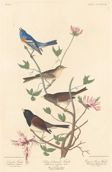Lazuli Finch, Clay-colored Finch and Oregon Snow Finch