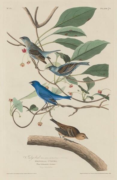 Indigo Bird