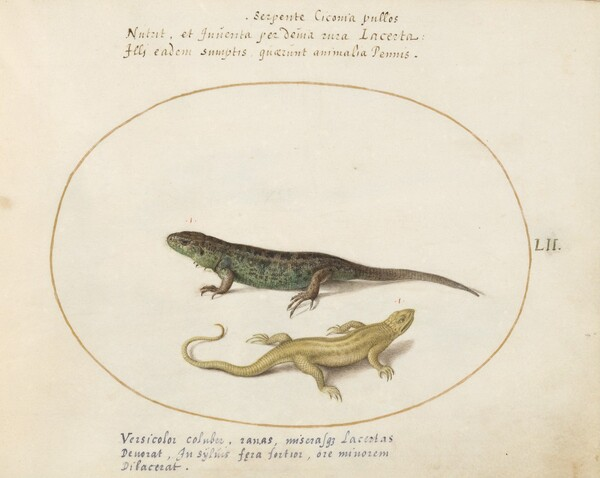 Plate 52: Two Lizards