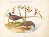 Plate 9: Two Pheasants with Fruiting Plants