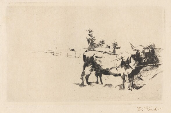Team of Oxen in Harness