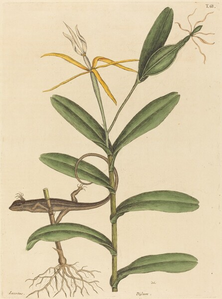 The Lyon Lizard (Lacerta 6-lineata)