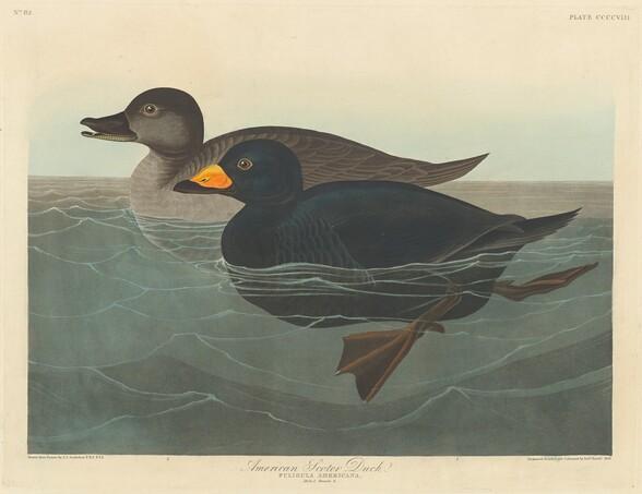 American Scoter Duck