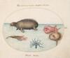 Plate 3: A Walrus, a Nine-Legged Octopus, and Ocean Sunfish
