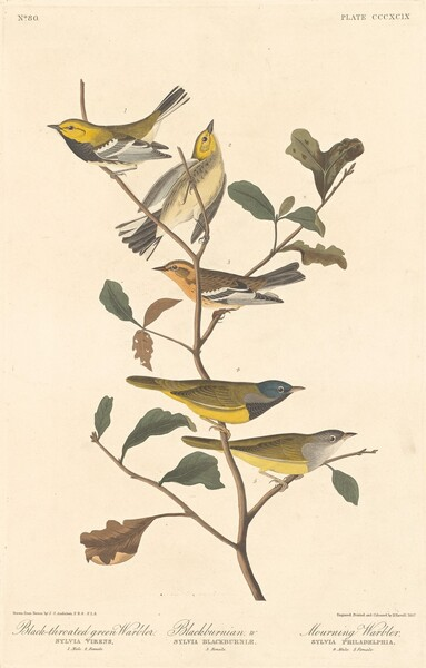 Black-throated Green Warbler, Blackburnian Warbler and Mourning Warbler
