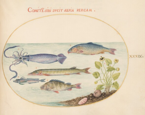 Plate 39: Squid, Gurnard, Pike, and Other Fish