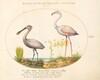 Plate 14: Spoonbill Crane and Flamingo