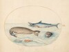 Plate 9: A Great White(?) Shark, Two Seals, and Two Fish