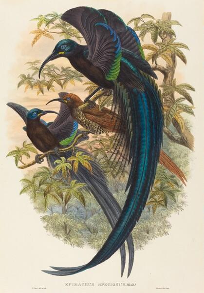 Epimachus speciosus (Sickle-billed Bird of Paradise)