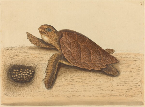 The Hawks-bill Turtle (Testudo caretta)